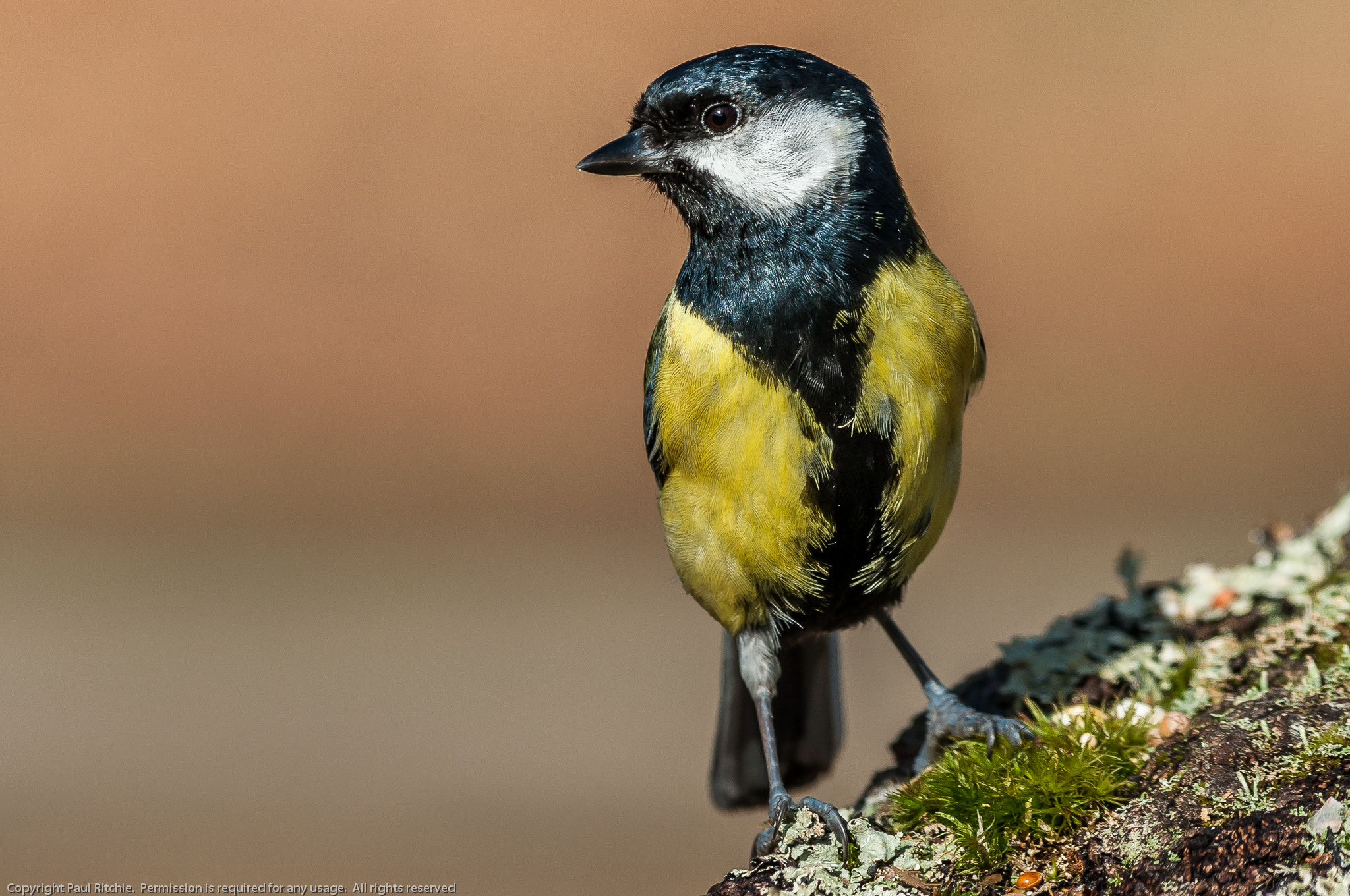 Photograph Great Tit (Parus major) by Paul Ritchie on 500px