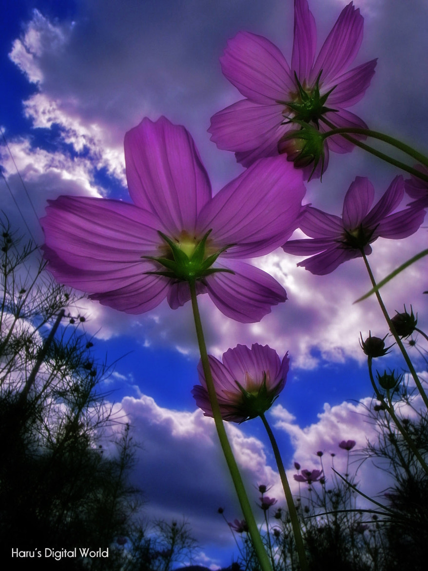 Photograph Cosmos by Haru Nature photo on 500px
