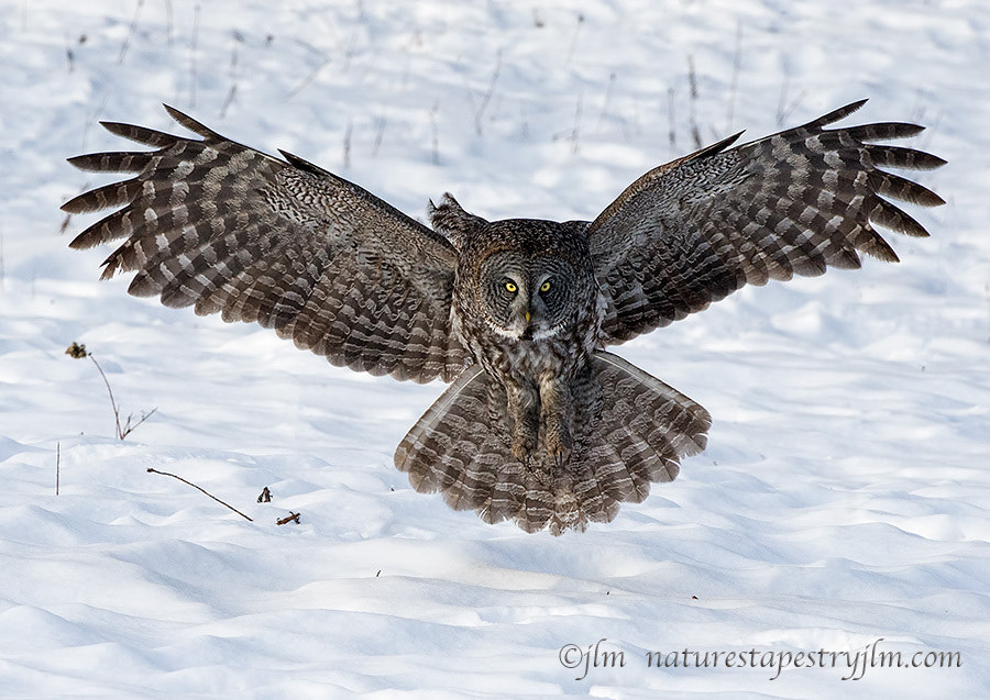 Photograph Ready For Touchdown !!!!     { Great Grey Owl } by Judylynn Malloch on 500px
