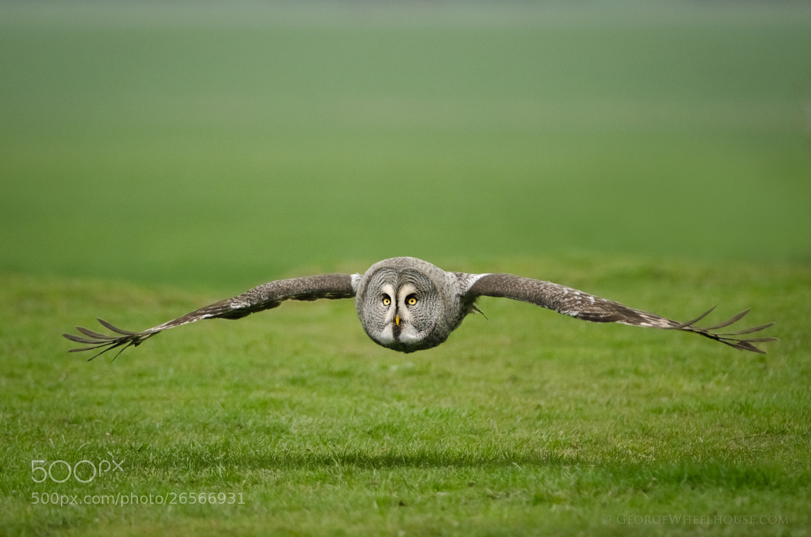Photograph Great Grey Owl - Low In Flight by George Wheelhouse on 500px