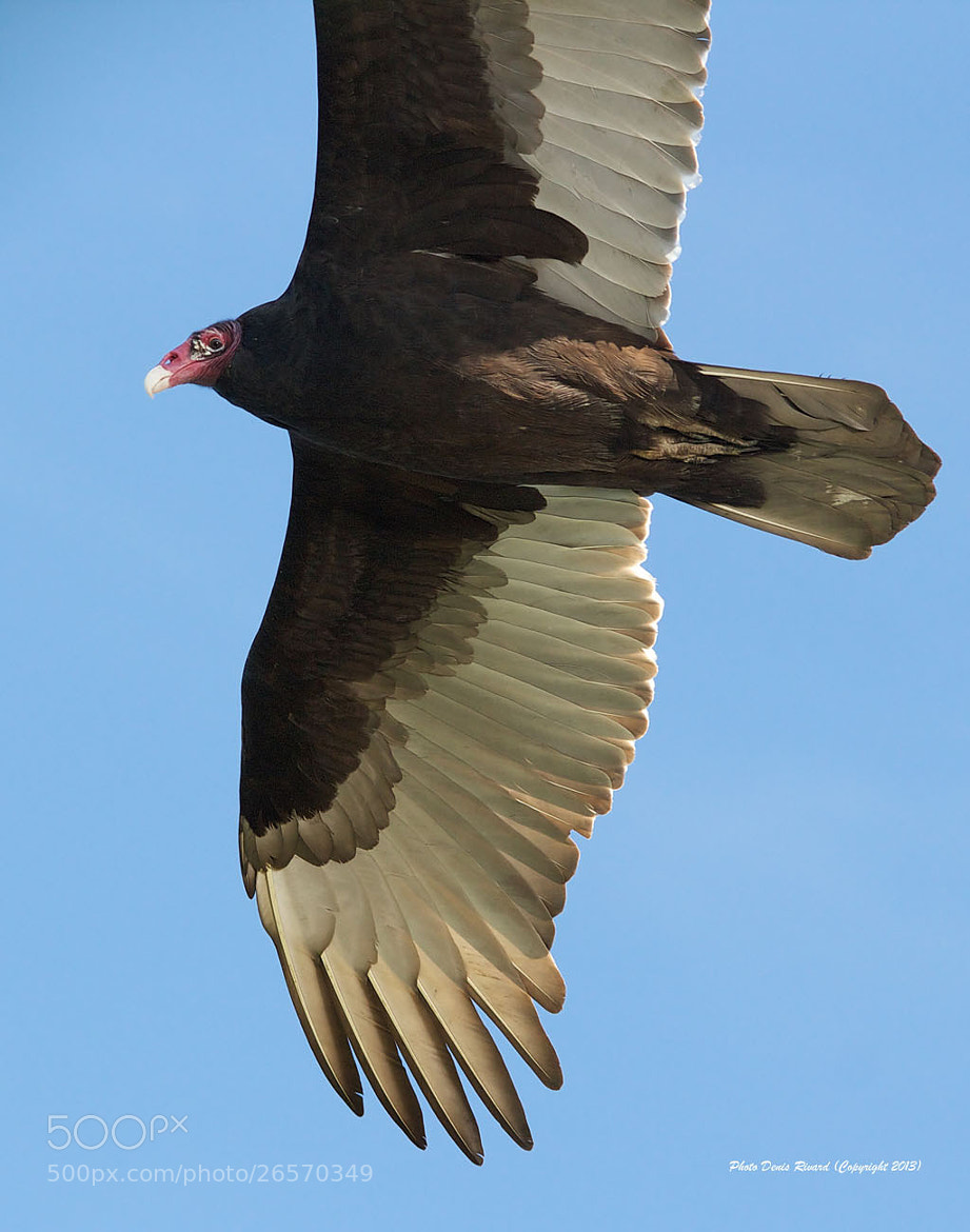 Photograph Turkey Vulture by Denis Rivard on 500px