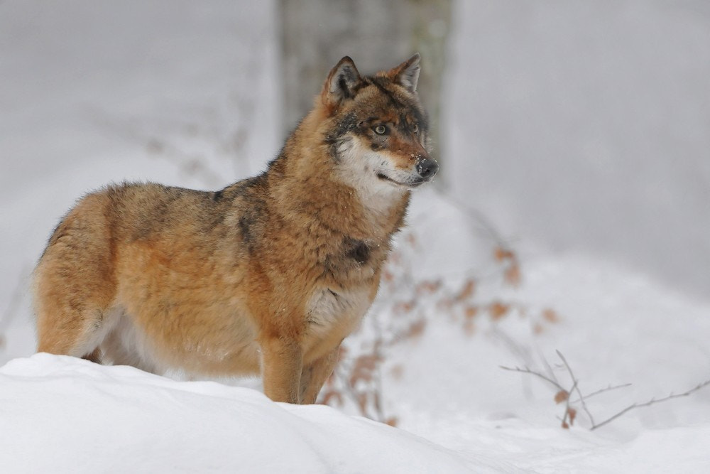 Photograph CANIS LUPUS by Miran Krapež on 500px