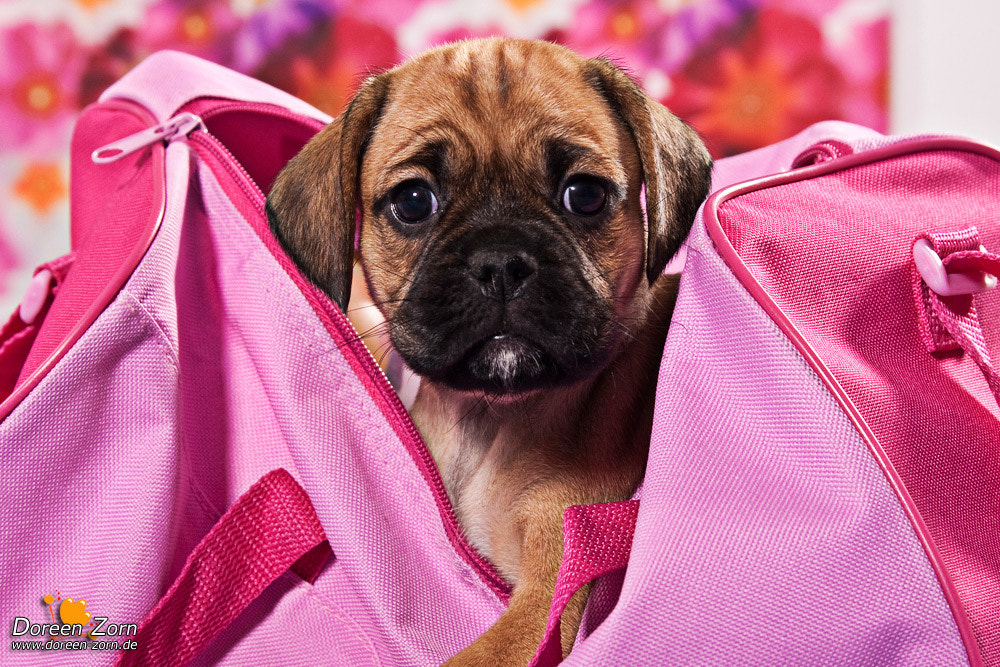 Photograph Puggle Pink by Doreen Zorn on 500px