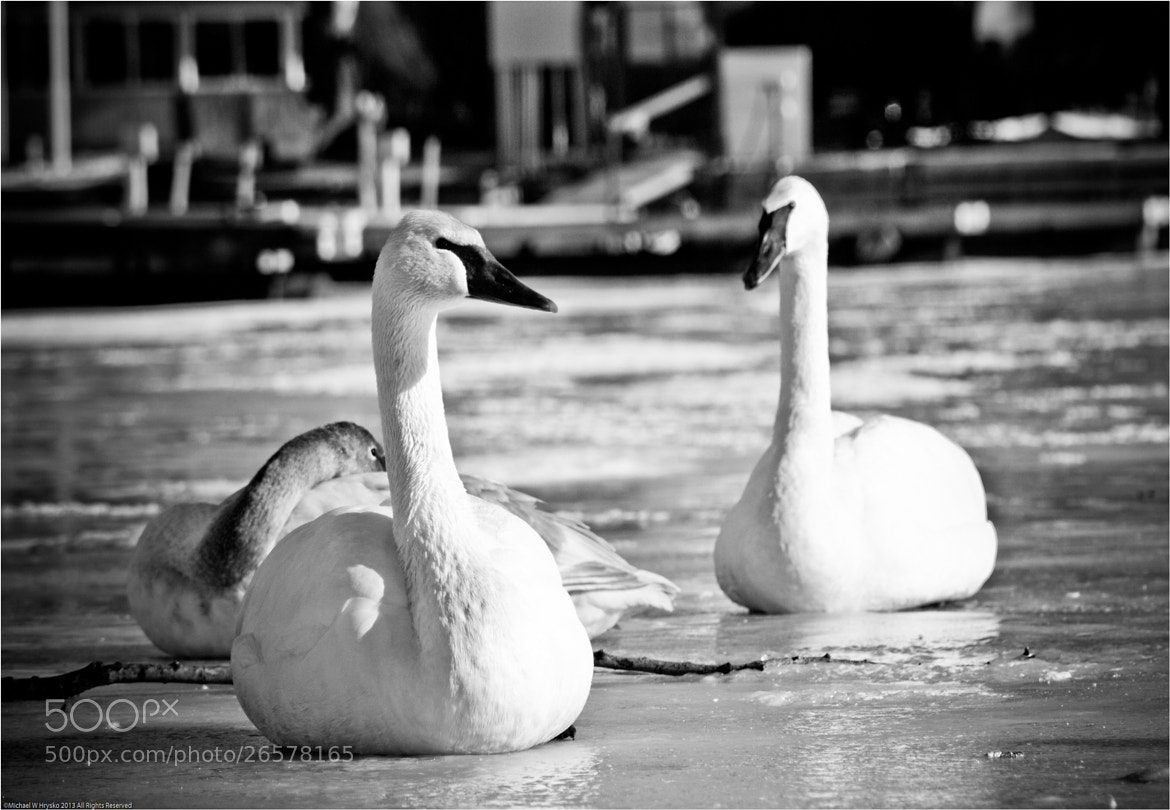 Photograph Winter Swans.... by Michael W Hrysko Photography on 500px