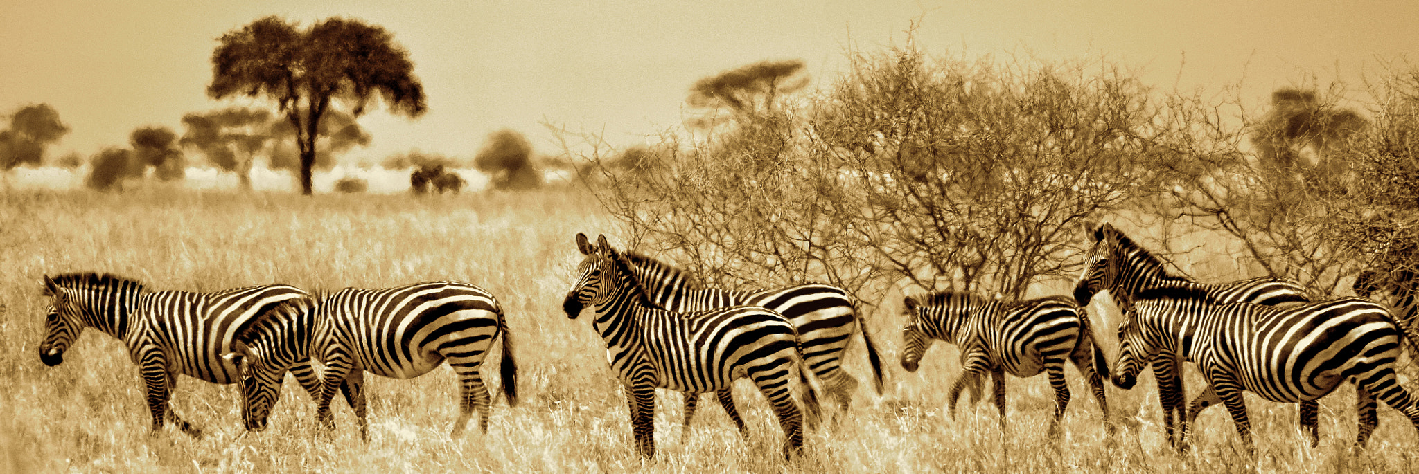 Photograph Zebras in Tanzania by Rick Bowers on 500px