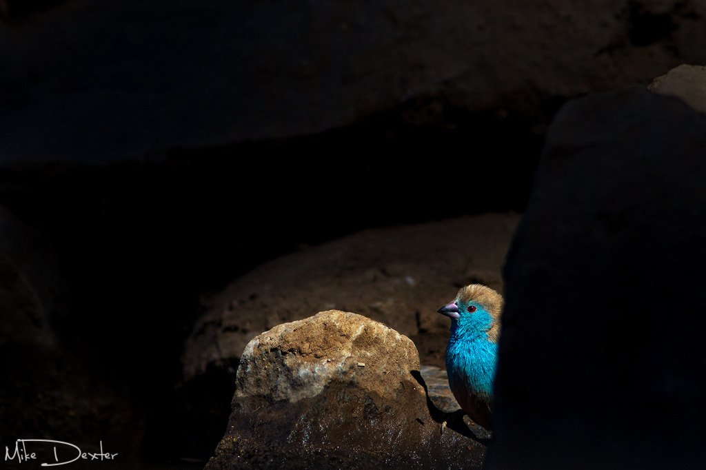 Photograph Blue waxbill by Mike Dexter on 500px
