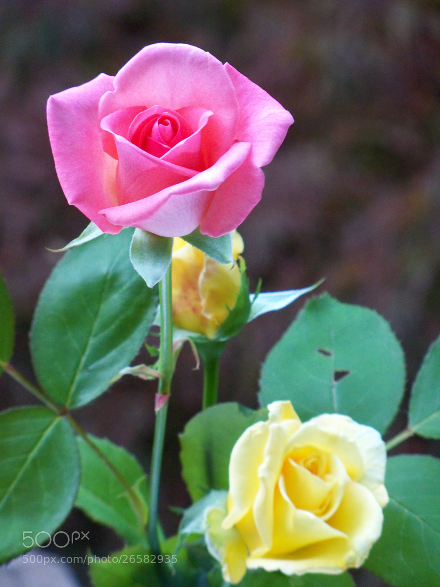 Photograph Pink and Yellow Roses by Nancy Andersen on 500px