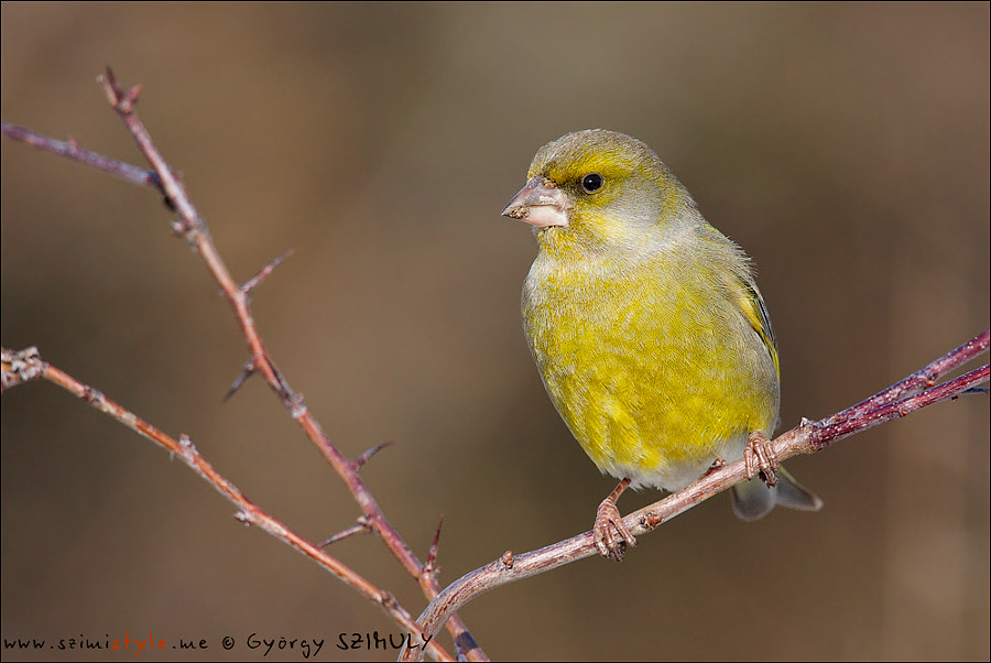 European Greenfinch (Carduelis chloris) by Gyorgy Szimuly on 500px.com
