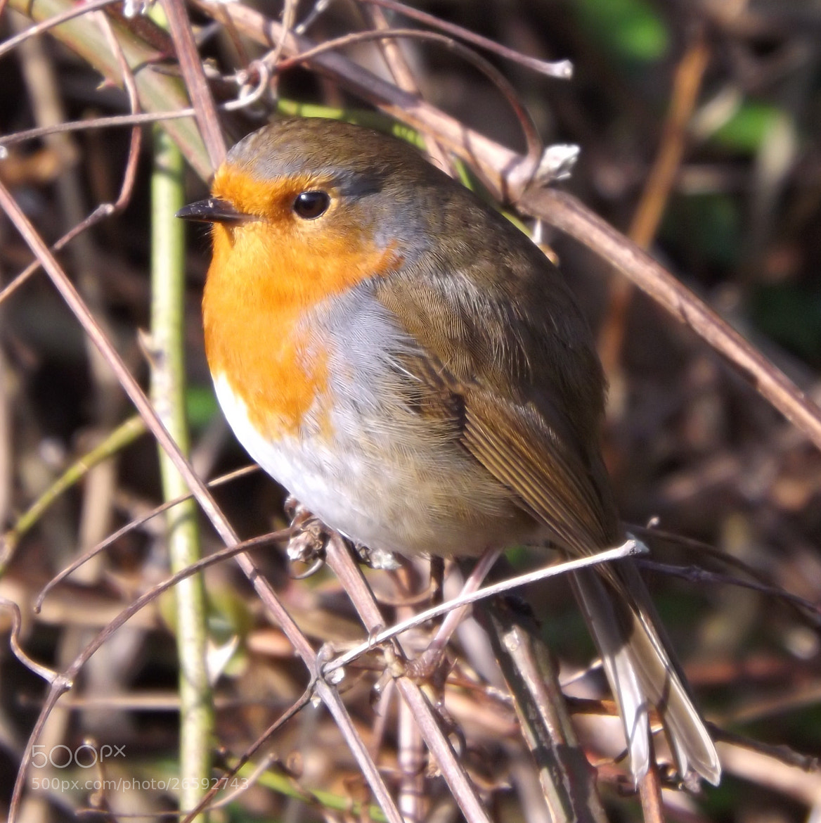 Photograph Robin by Max Rigden on 500px