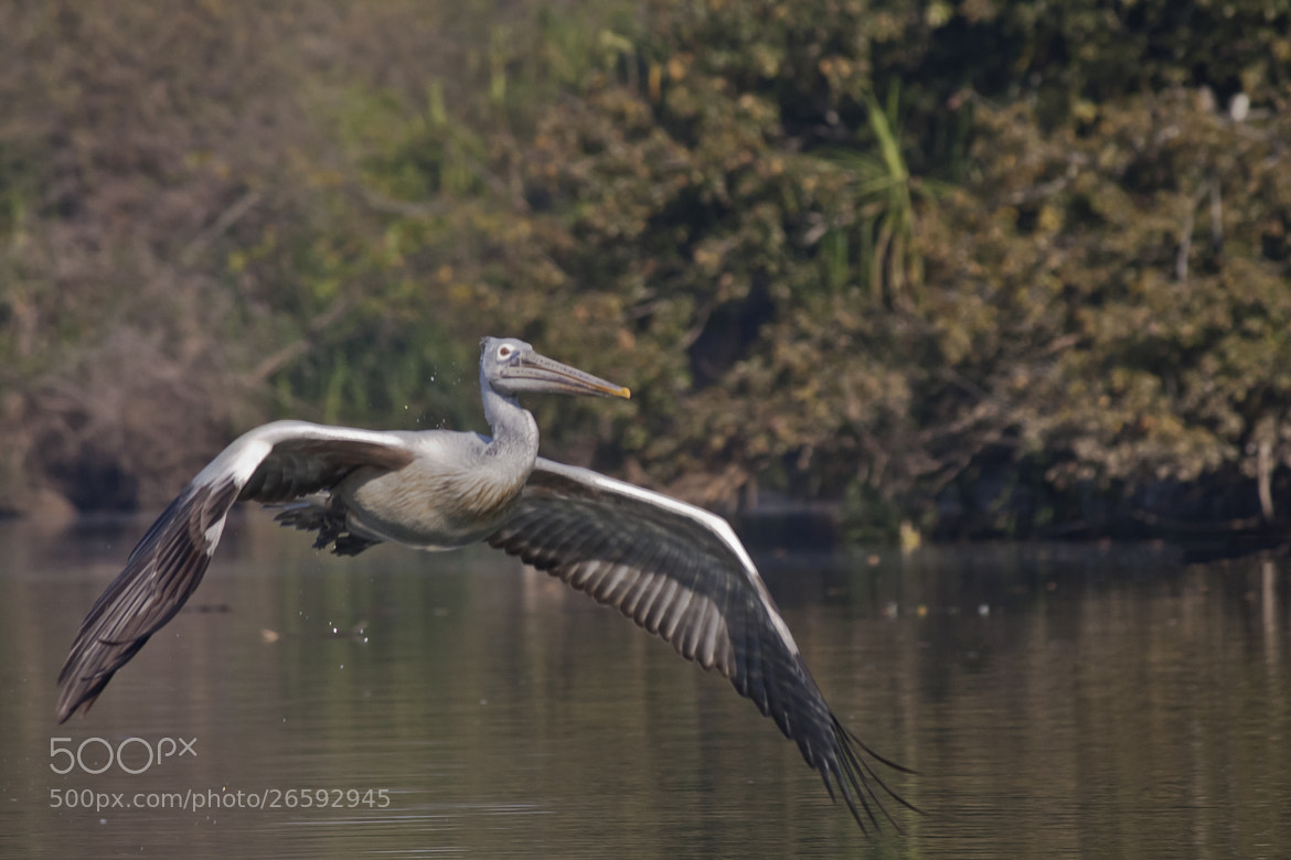 Photograph Pelican Close Up by Pradeep BR on 500px