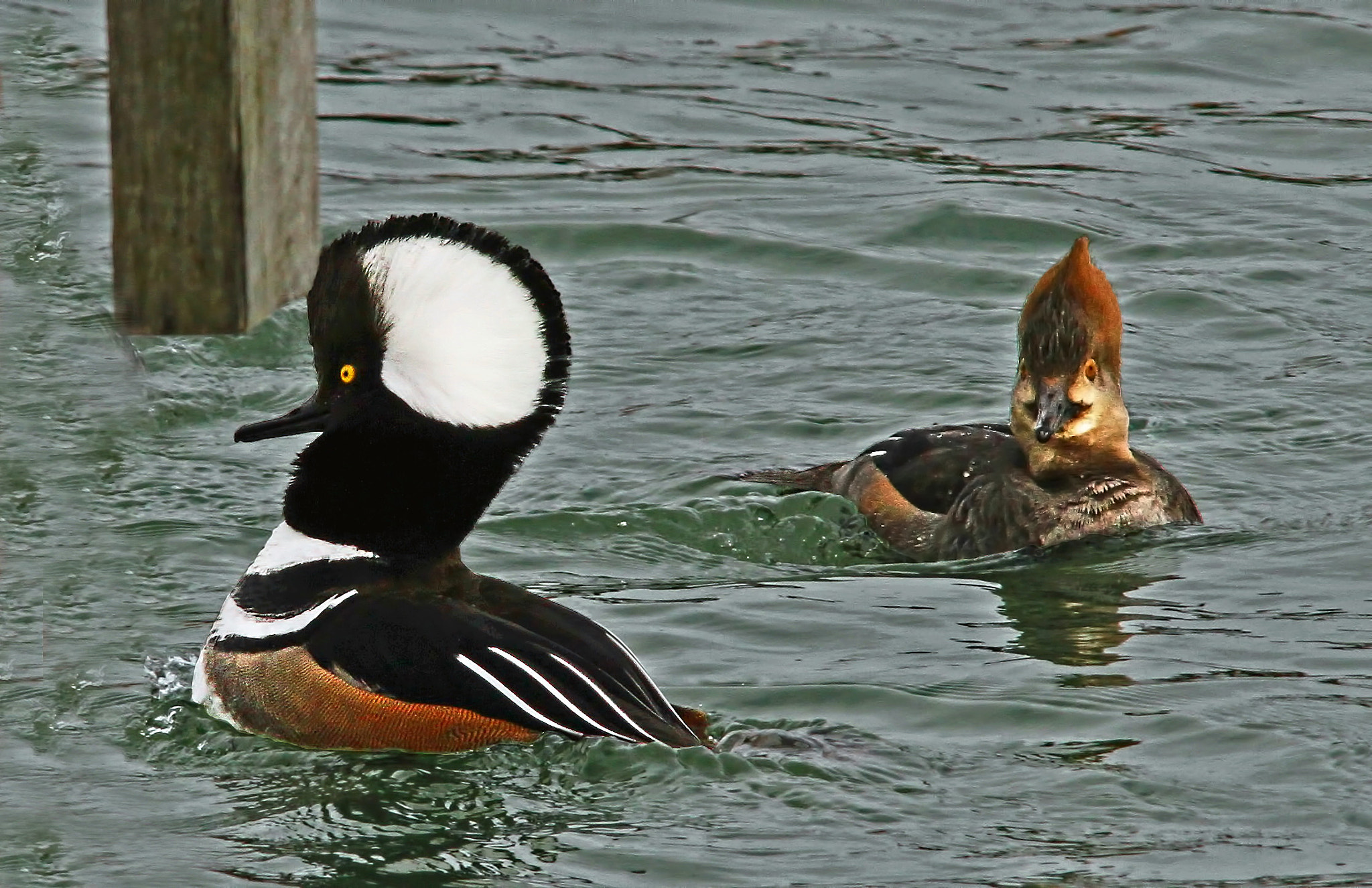Photograph Hooded Mergansers by Bill McCormack on 500px