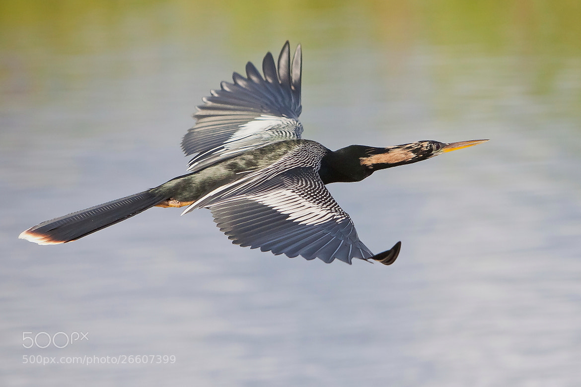 Photograph Male Anhinga by Miguel Angel Leyva on 500px