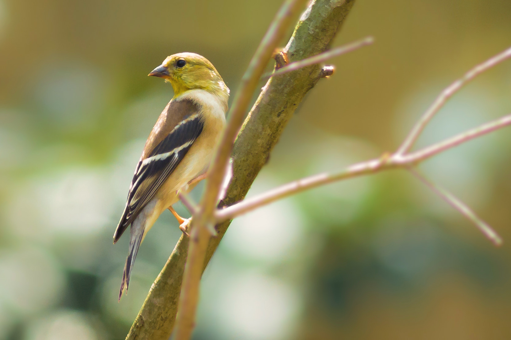 Photograph  Goldfinch by George Bloise on 500px