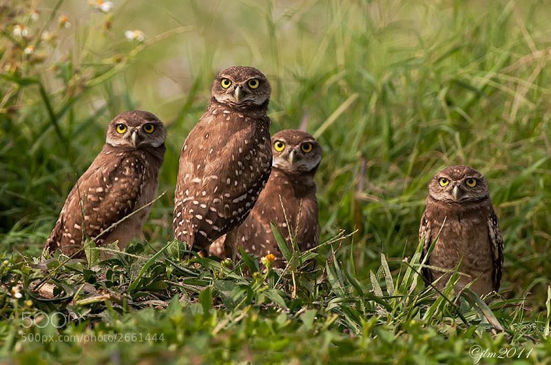 These for little owlettes were quite interested in just who I was and their curiosity gave me a few moments to capture all four of the little juveniles looking at me.  They   ar great entertainers.