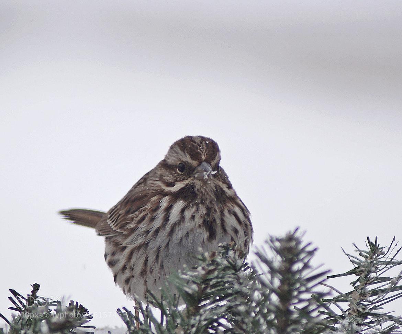 Photograph Song Sparrow by cherylorraine smith on 500px
