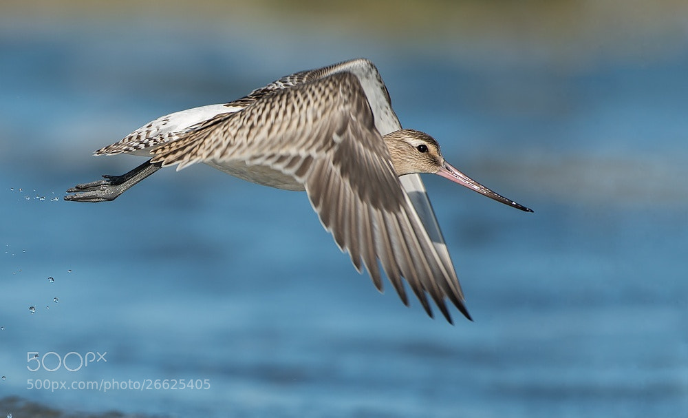 Photograph Bar-tailed Godwit by Svein Ove Linde on 500px
