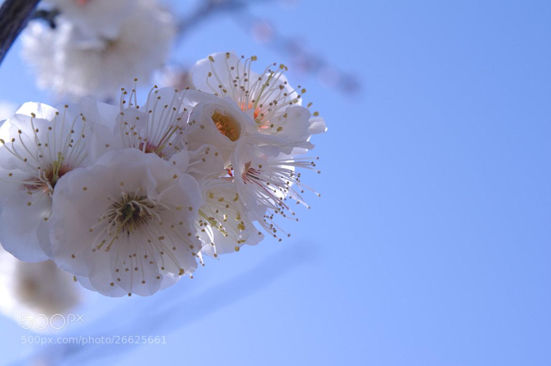 Photograph Japanese apricot blossom by Jun Kondo on 500px