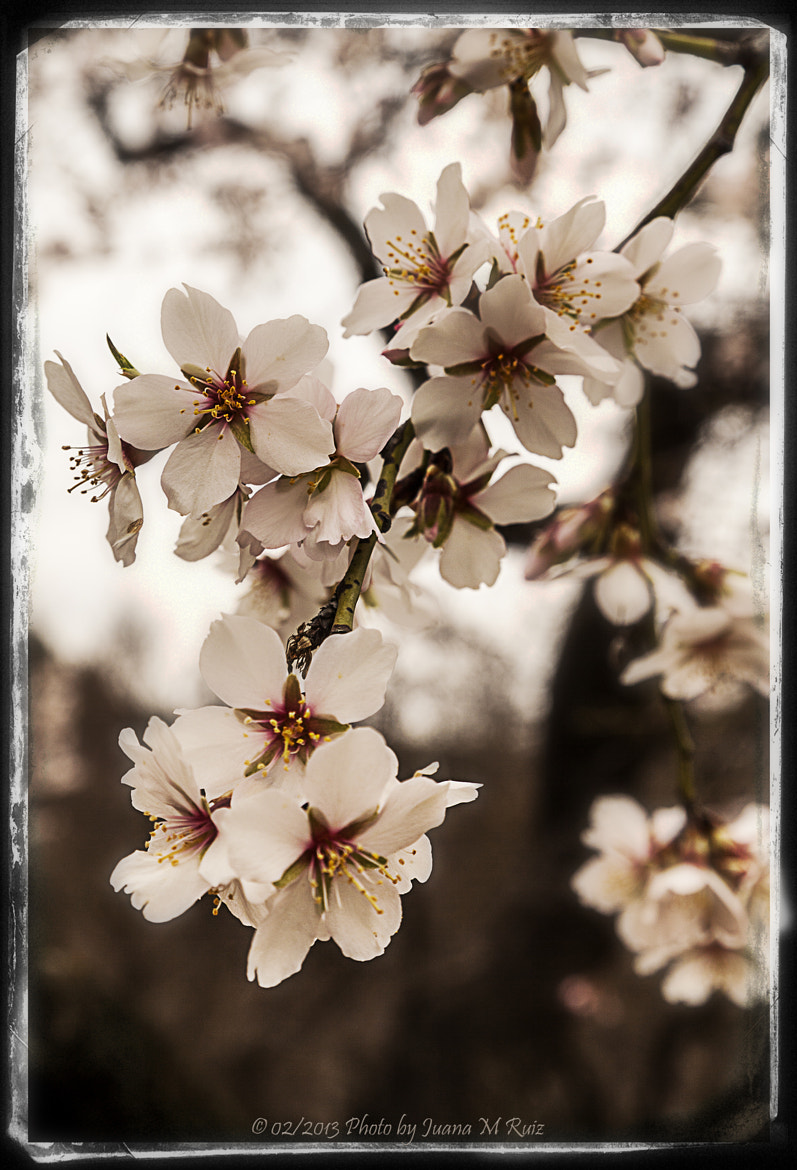 Photograph Almond blossom by Juana Maria Ruiz on 500px