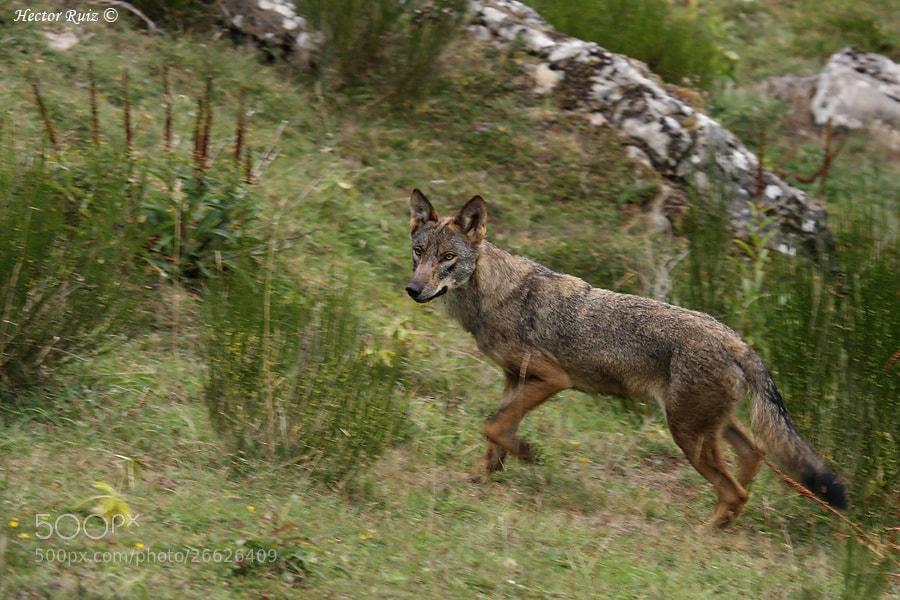 Photograph Iberian wolf by Héctor Ruiz Villar on 500px