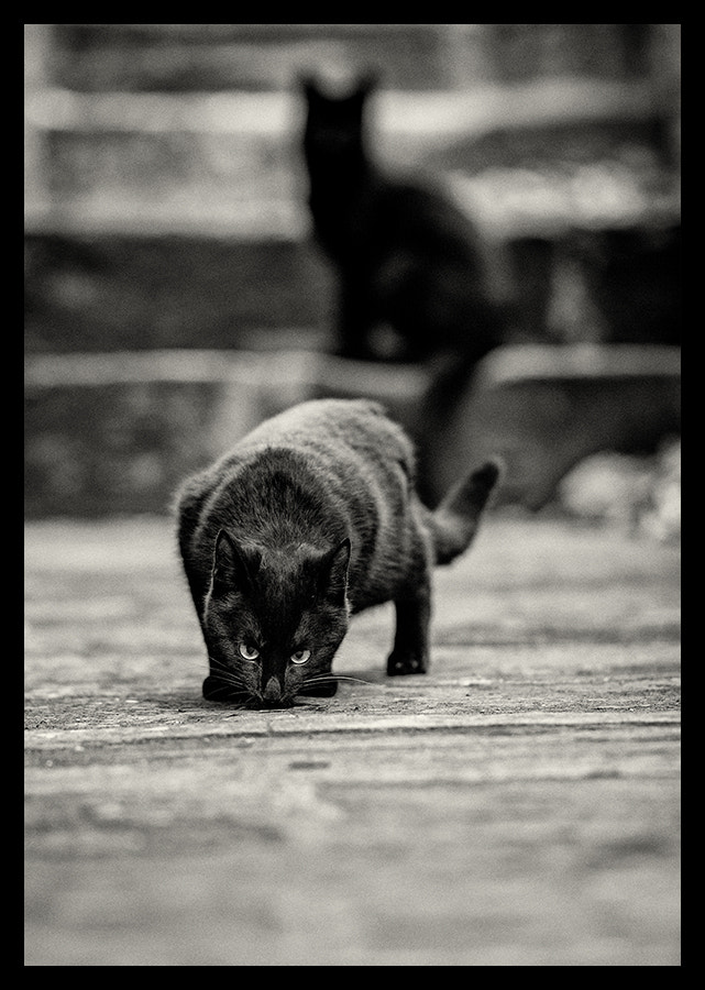 Photograph Black Cats by Javier Rodriguez on 500px