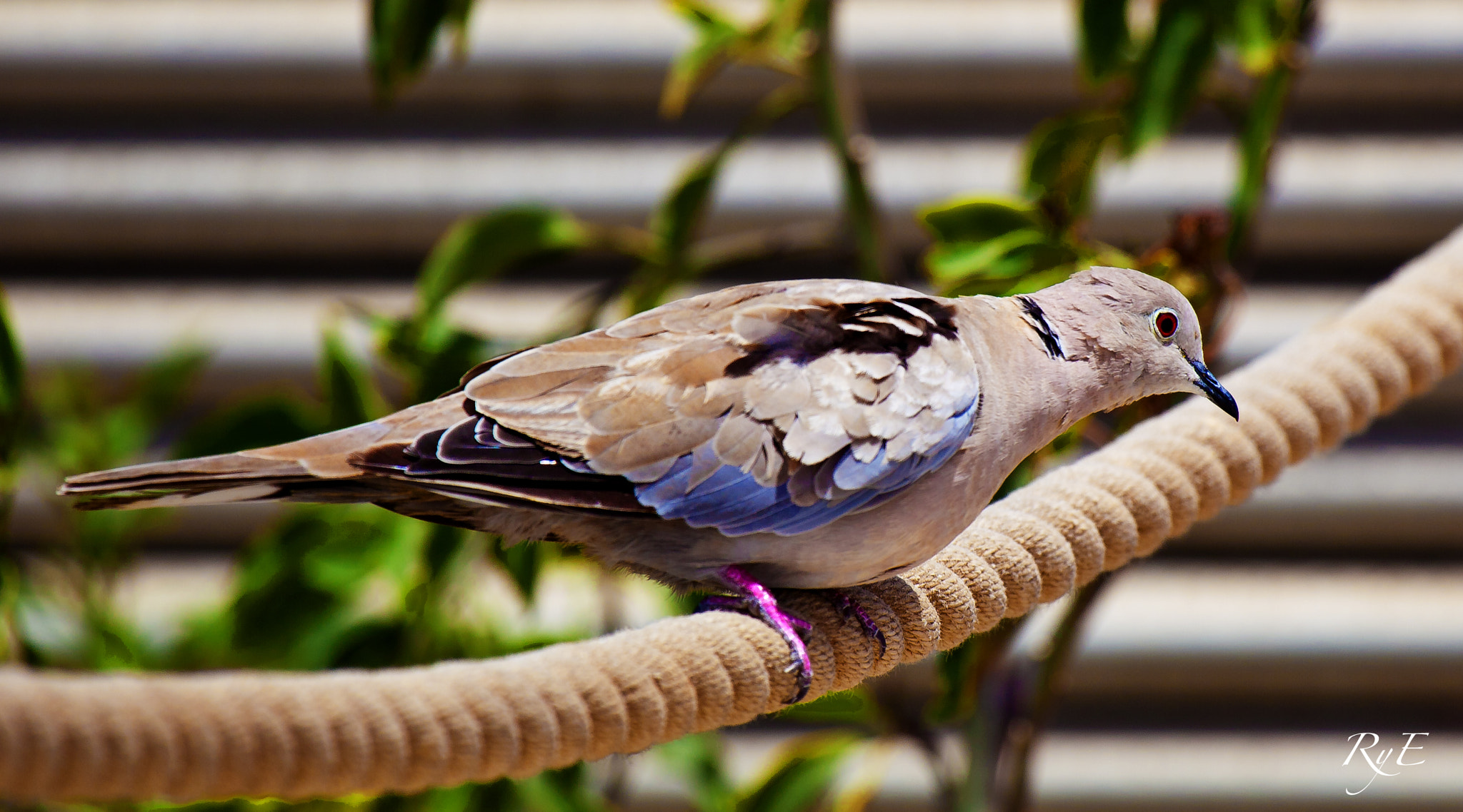 Photograph Pigeon by Jose Luis Rubianes on 500px