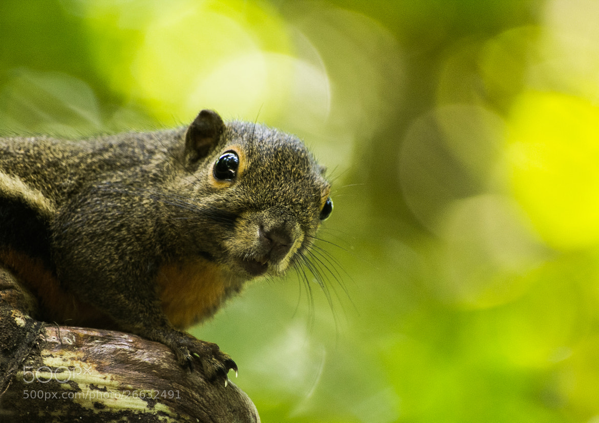 Photograph Squirrel by Vishang Shah on 500px