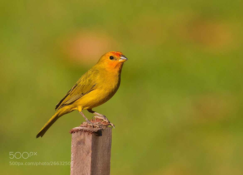 Photograph Saffron Finch (Sicalis flaveola) by Bertrando Campos on 500px