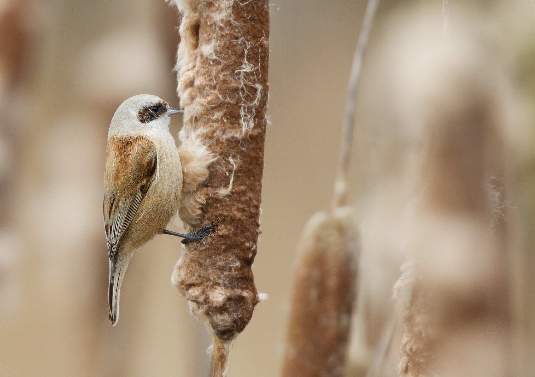 Photograph Penduline Tit by Ian Billenness on 500px