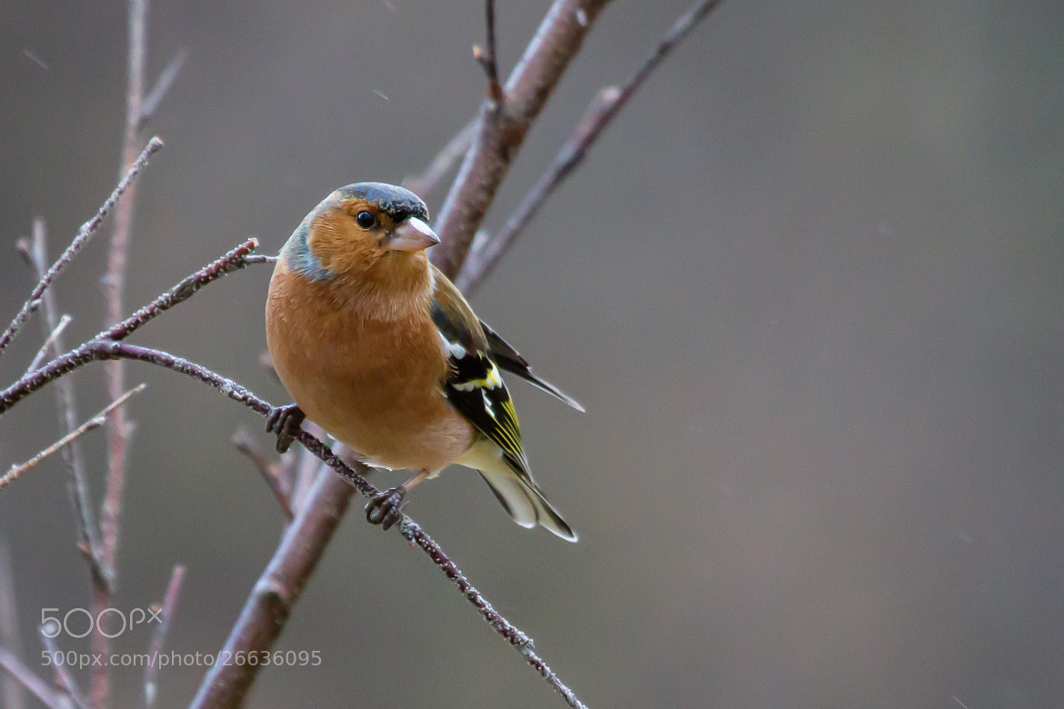 Photograph Male Chaffinch by Kerry Howcroft on 500px