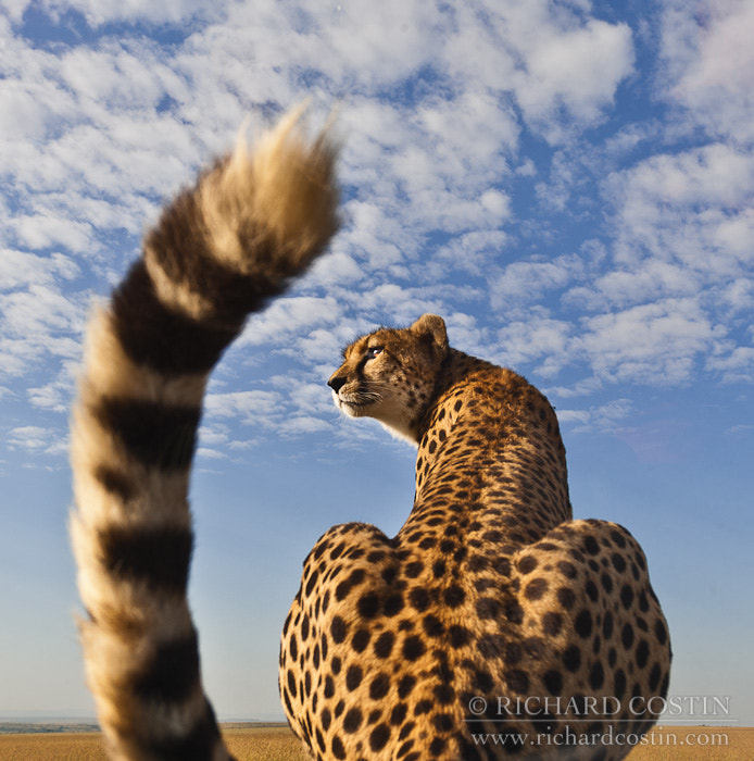 Photograph Super wide Cheetah Portrait by Richard Costin on 500px