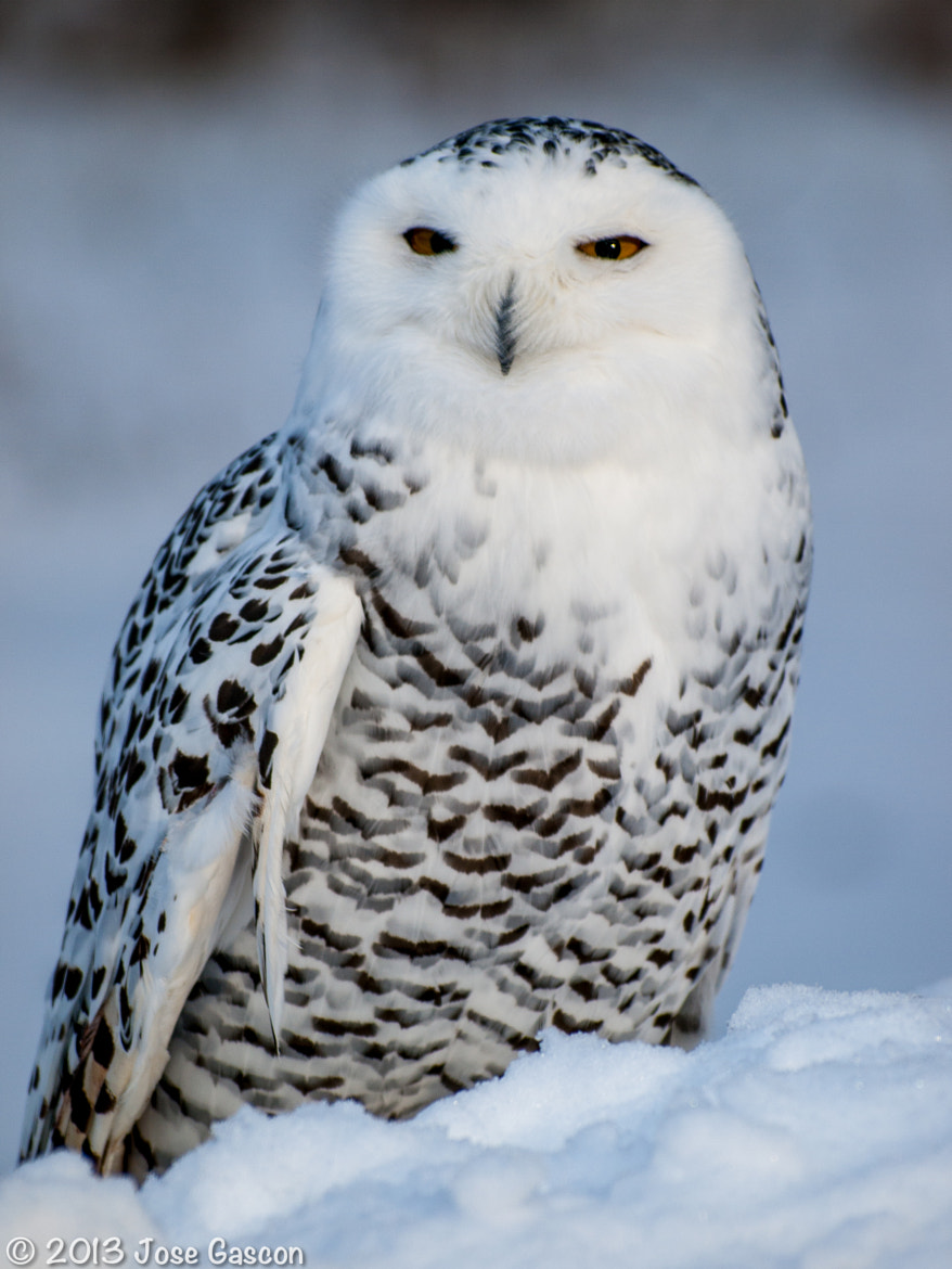 Photograph Snow Owl by Jose Gascon on 500px