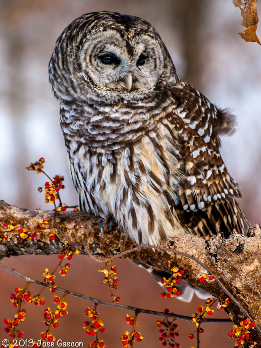 Photograph Owl by Jose Gascon on 500px
