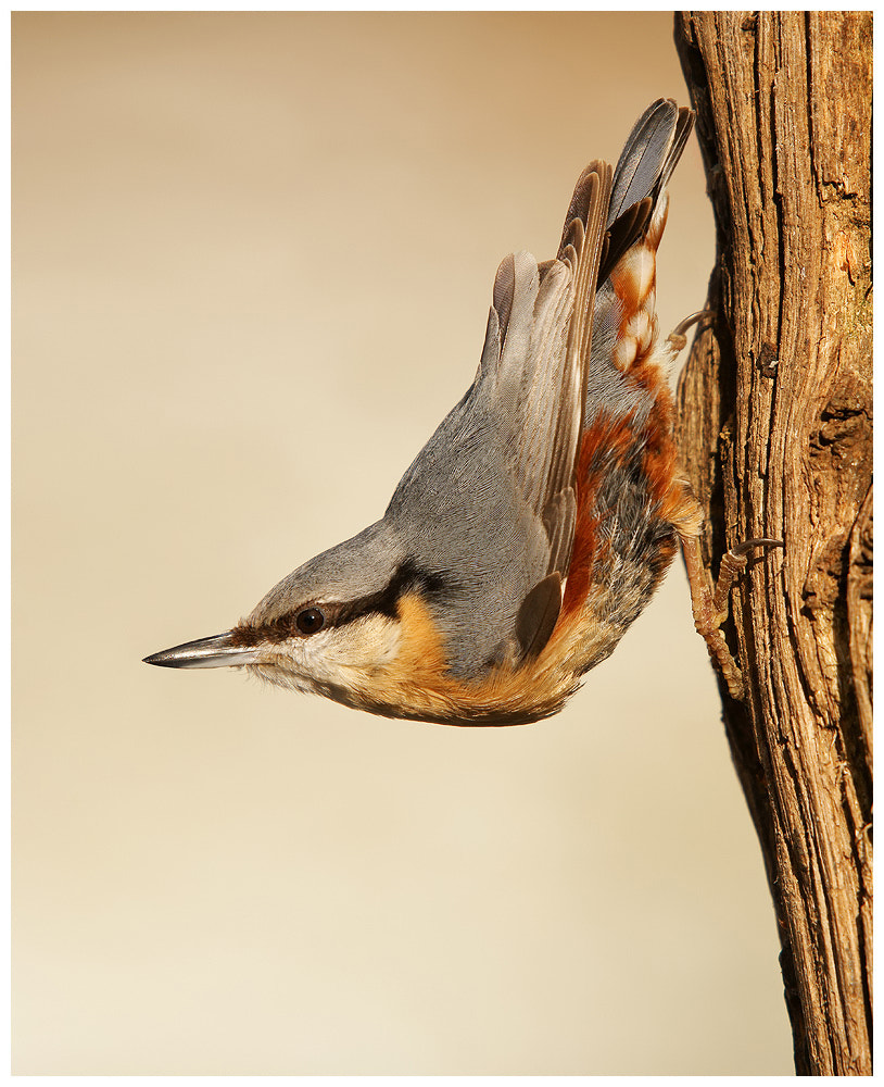 Photograph Nuthatch by Geoffrey Baker on 500px