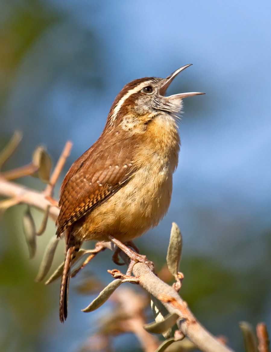 Photograph Singing Wren by Lorraine Hudgins on 500px