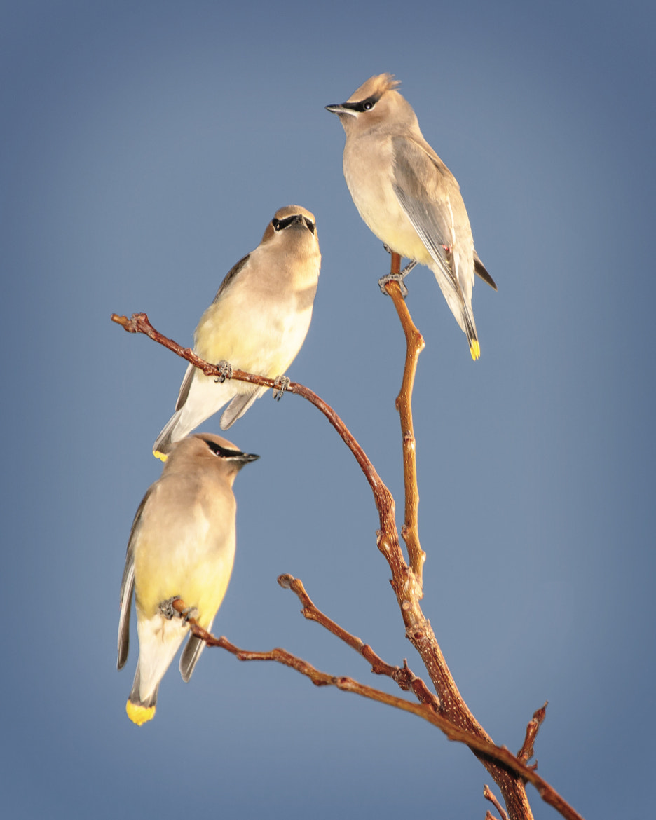 Photograph cedar waxwings by Brandon Downing on 500px