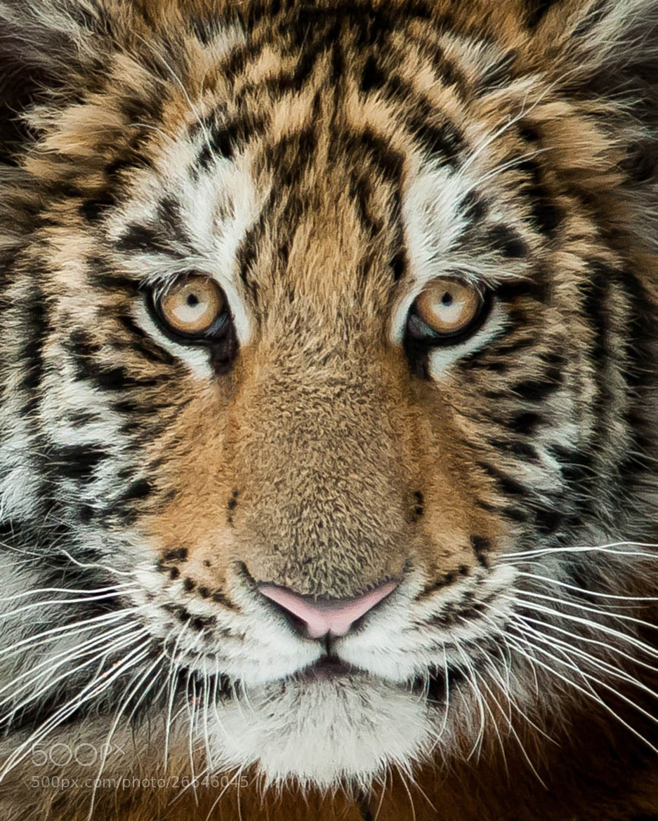 Photograph Young Tiger by Justin Lo on 500px