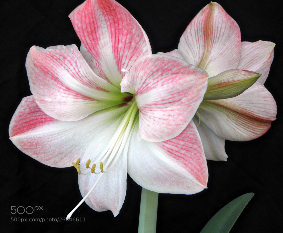 Photograph pink and white amaryllis by roger butler on 500px for Amaryllis sweet pink