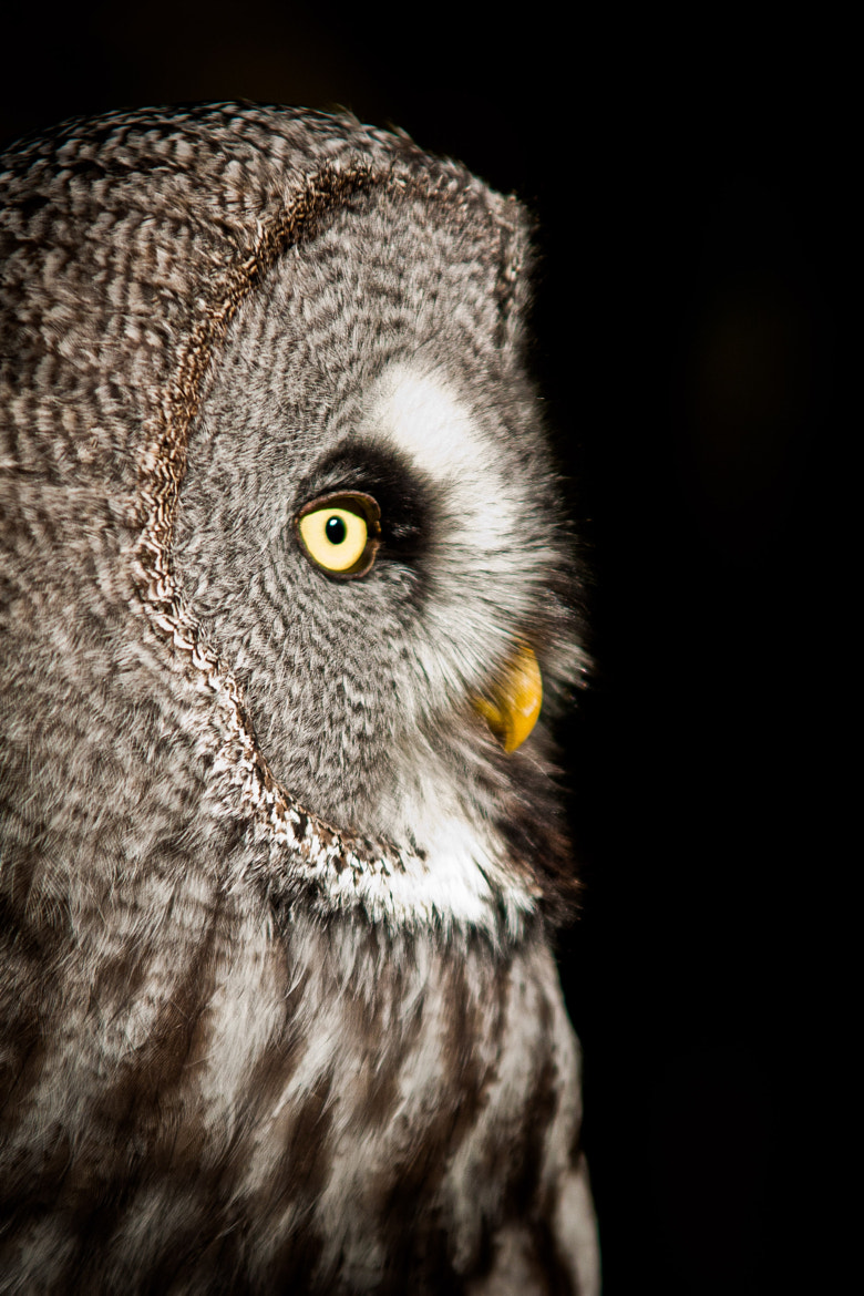 Photograph Great Grey Owl by Kerry Howcroft on 500px
