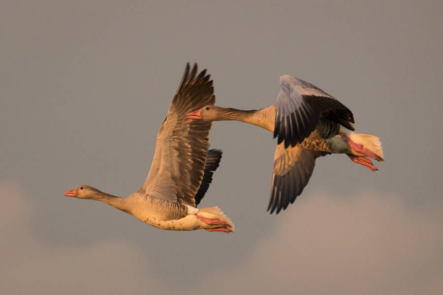 Greylag in flight by Björn Holmbom on 500px.com