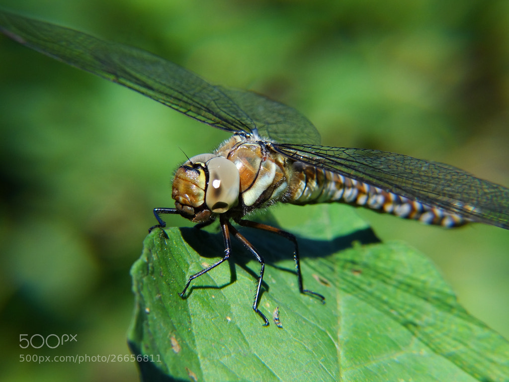 Photograph Migrant Hawker (Aeshna mixta) - Holmthorpe Nature Reserve by Danny Chatfield on 500px