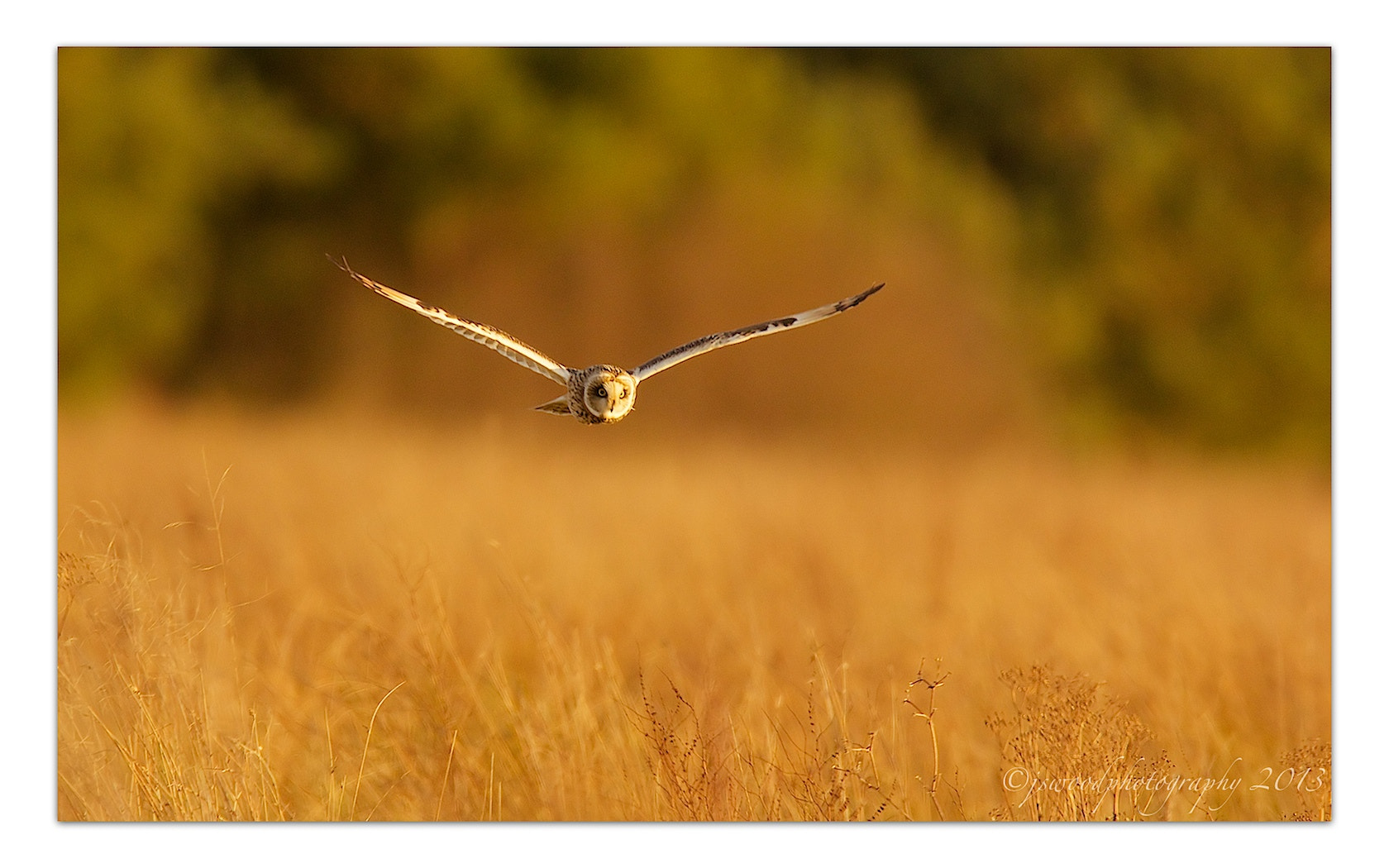 Photograph Short Eared Owl by Jason Wood on 500px