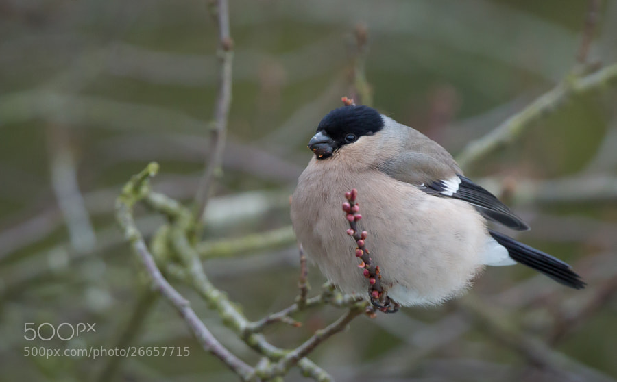 Photograph Eurasian Bullfinch - Female by Ian Billenness on 500px