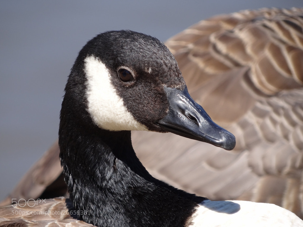 Photograph Canada Goose (Branta canadensis) - Ifield Mill Pond by Danny Chatfield on 500px