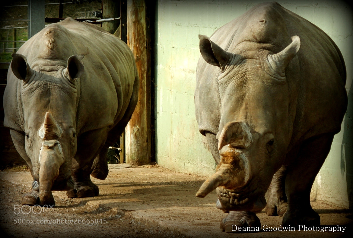 Photograph White Rhino's by Deanna Goodwin on 500px