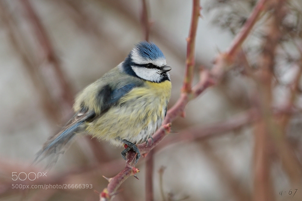 Photograph Blaumeise (Cyanistes caeruleus) by u-67 on 500px