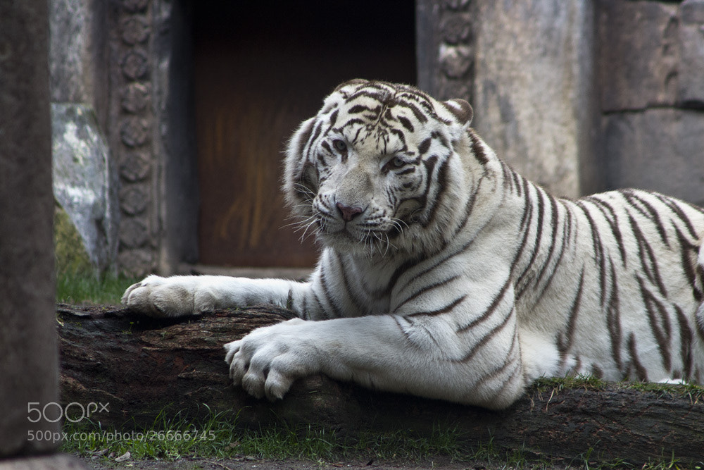 Photograph Tigre Blanco by Samuel  Moreno on 500px