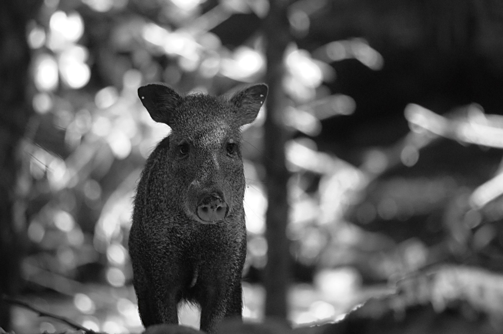 Photograph Blue Boar by Christian Holmquist on 500px