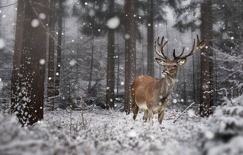 Photograph The Snowdeer by Jeannette  Oerlemans on 500px