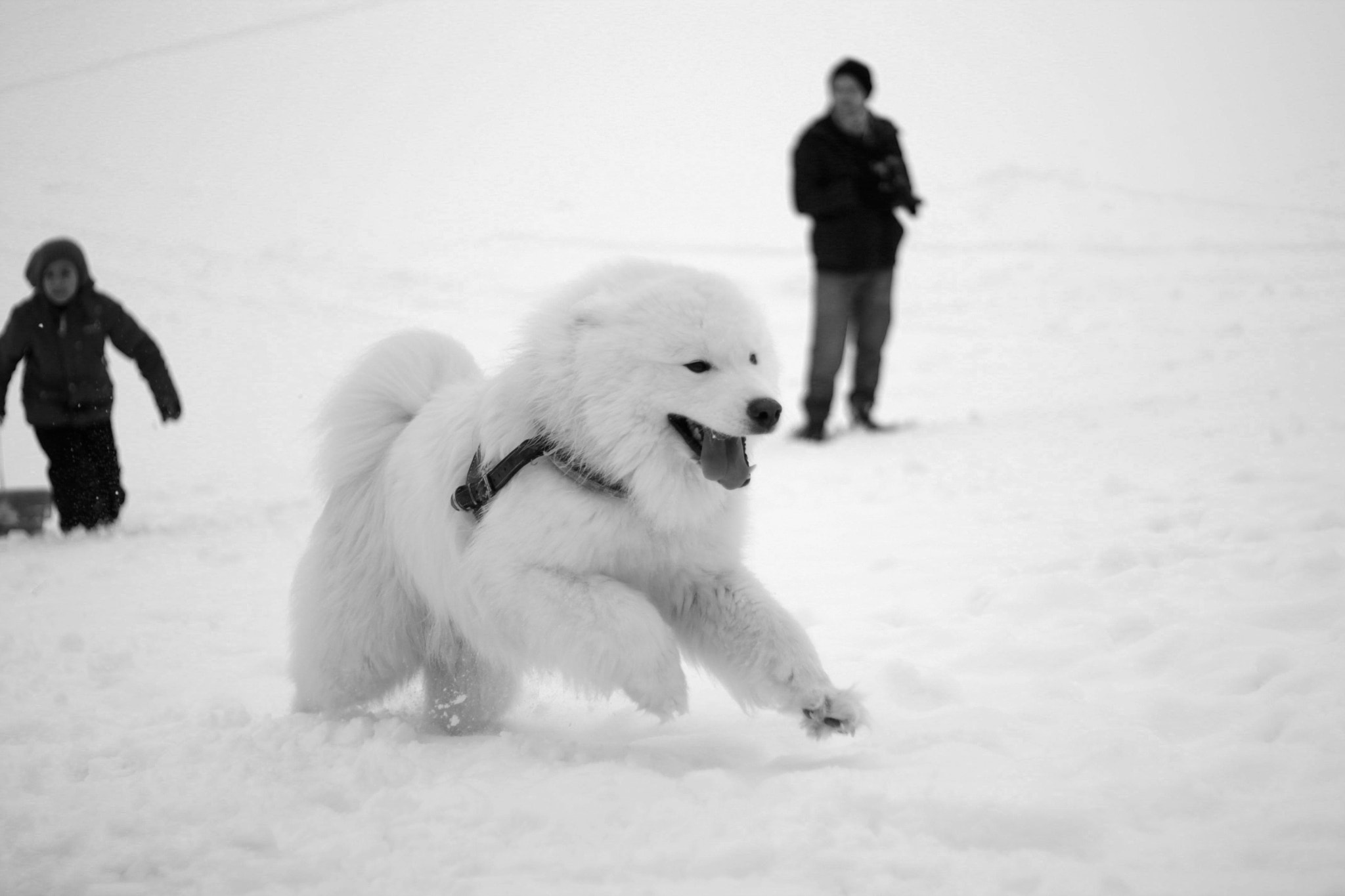 Photograph Samoyed in snow b/w by Carl J.M. on 500px