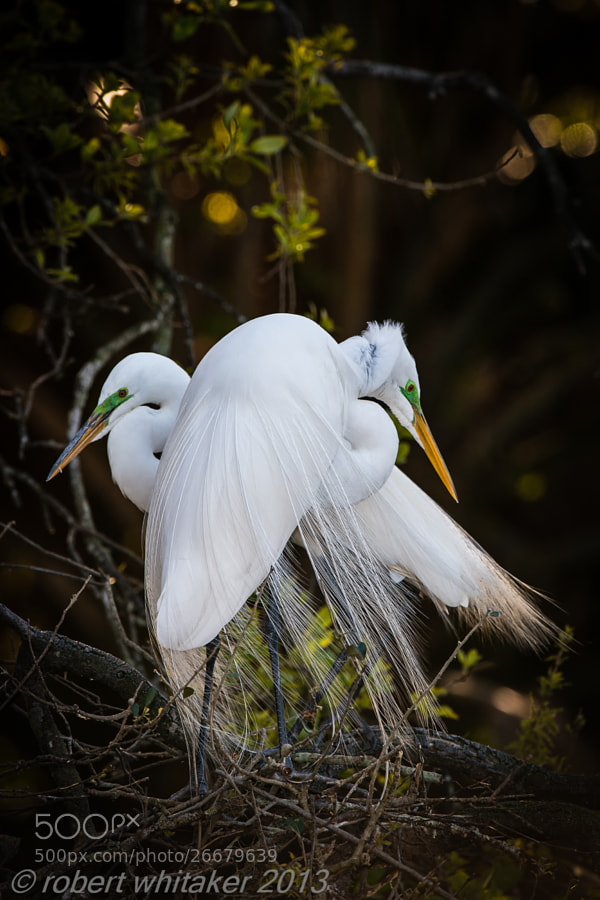 Great Egret couple sharing a moment.